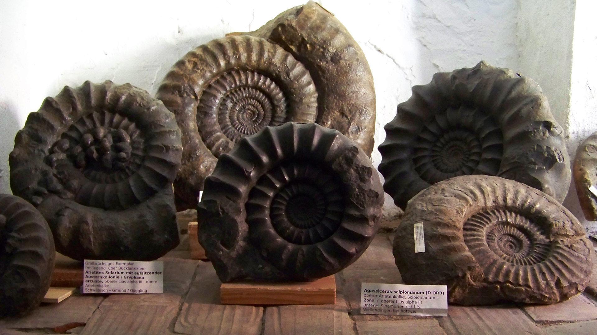 Sammler von Ammoniten